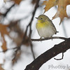 "Wood-Warblers: <span style=""color:#fff; background:#333;"">Pine Warbler</span> (Female)  <br> Bridgeton, MO <br> <a href=""/Birds/2007-Birding/Birding-2007-December/2007-12-December-at-the-Feeder/i-Stkb7hT"">2007-12-02</a> <br><br> My 1st Missouri photo, species #180 <br> 2007-12-02 14:10:01 <br><div class=""noshow""> See #180 in photo gallery  <a href=""/Birds/2007-Birding/Birding-2007-December/2007-12-December-at-the-Feeder/i-bB7XPsP""> here</a> </div>"