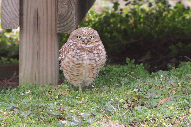 """Owls: <span style=""""color:#fff; background:#333; background:#333;"""">Burrowing Owl</span> <br> Willard <br> Green County, Missouri <br> <a href=""""/Birds/2011-Birding/Birding-2011-March/2011-03-07-Burrowing-Owl/i-gpdTCV8"""">2011-03-07</a> <br><br> My 1st Missouri photo, species #299 <br> 2011-03-07 14:42:34 <br><div class=""""noshow"""">  See #299 in photo gallery  <a href=""""/Birds/2011-Birding/Birding-2011-March/2011-03-07-Burrowing-Owl/i-626gVJz""""> here</a> </div>"""