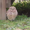 "Owls: <span style=""color:#fff; background:#333; background:#333;"">Burrowing Owl</span> <br> Willard Missouri <br>	 <a href=""/Birds/2011-Birding/Birding-2011-March/2011-03-07-Burrowing-Owl/i-gpdTCV8"">2011-03-07</a> <br><br> My 1st Missouri photo, species #299 <br> 2011-03-07 14:42:34 <br><div class=""noshow"">  See #299 in photo gallery  <a href=""/Birds/2011-Birding/Birding-2011-March/2011-03-07-Burrowing-Owl/i-626gVJz""> here</a> </div>"