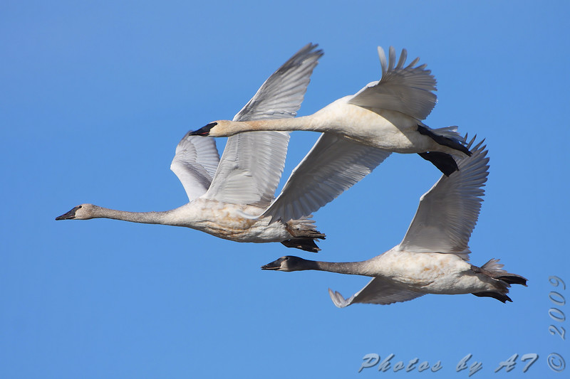 """Swans: <span style=""""color:#fff; background:#333;"""">Trumpeter Swans </span> <br> Cora Island Road <br> <a href=""""/Birds/2009-Birding/Birding-2009-November/2009-11-28-RMBS/i-cXvPvMS"""">2009-11-28</a> <br><br> My 1st Missouri photo, species #43 <br> 2005-11-19 16:42:28 <br><div class=""""noshow"""">  See #43 in photo gallery  <a href=""""/Birds/2005-Birding/2005-11-19-Riverlands/i-hGNS2SD""""> here</a> </div>"""
