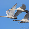 "Swans: <span style=""color:#fff; background:#333;"">Trumpeter Swans </span> <br> Cora Island Road <br> <a href=""/Birds/2009-Birding/Birding-2009-November/2009-11-28-RMBS/i-cXvPvMS"">2009-11-28</a> <br><br> My 1st Missouri photo, species #43 <br> 2005-11-19 16:42:28 <br><div class=""noshow"">  See #43 in photo gallery  <a href=""/Birds/2005-Birding/2005-11-19-Riverlands/i-hGNS2SD""> here</a> </div>"