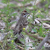 "Sparrows: <span style=""color:#fff; background:#333;"">Lark Sparrow </span> <br> SW Nelson Road <br> St. Joseph area <br> <a href=""/Birds/2009-Birding/Birding-2009-April/2009-04-29-St-Joseph-Missouri/i-xssJfzS"">2009-04-29</a> <br><br> My 1st Missouri photo, species #115 <br> 2006-06-03 09:56:12 <br><div class=""noshow"">  See #115 in photo gallery  <a href=""/Birds/2006-Birding/Birding-2006-June/2006-06-03-Weldon-Springs-Katy/i-zvZxrdK""> here</a> </div>"