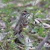 "Sparrows: <span style=""color:#fff; background:#333;"">Lark Sparrow </span> <br> SW Nelson Road <br> St. Joseph area <br> Buchanan County, Missouri <br> <a href=""/Birds/2009-Birding/Birding-2009-April/2009-04-29-St-Joseph-Missouri/i-xssJfzS"">2009-04-29</a> <br><br> My 1st Missouri photo, species #115 <br> 2006-06-03 09:56:12 <br><div class=""noshow"">  See #115 in photo gallery  <a href=""/Birds/2006-Birding/Birding-2006-June/2006-06-03-Weldon-Springs-Katy/i-zvZxrdK""> here</a> </div>"
