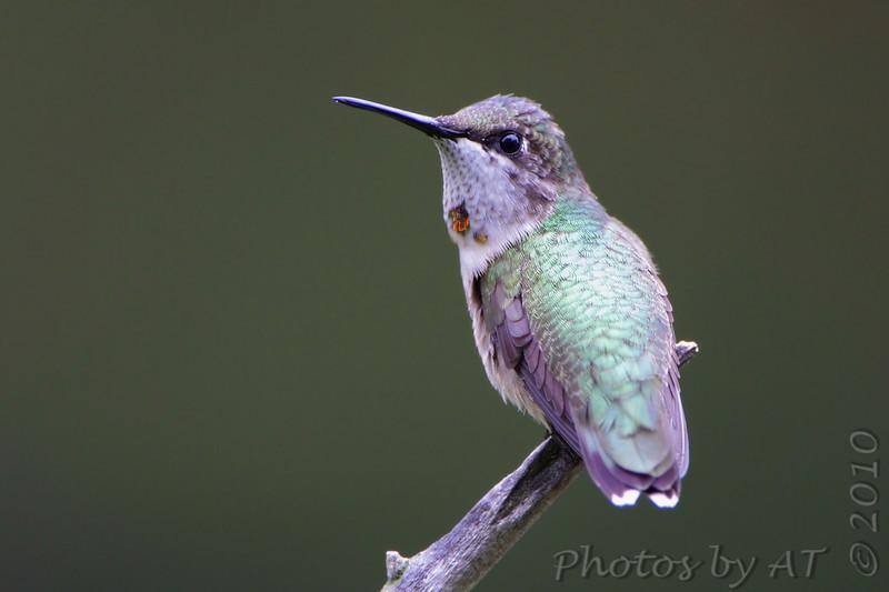 "Hummingbirds: <span style=""color:#fff; background:#333;"">Ruby-throated Hummingbird</span>  <br> Bridgeton, Missouri <br> <a href=""/Birds/2010-Birding/Birding-2010-August/2010-08-Yardbirds/i-GKkm8XR"">2010-08-30</a> <br><br> My 1st Missouri photo, species #1 <br> 2003-08-24 15:02:11<br><div class=""noshow"">  See #1 in photo gallery  <a href=""/Birds/Humming-Birds/i-ZB67bKr""> here</a> </div>"