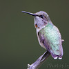 "Hummingbirds: <span style=""color:#fff; background:#333;"">Ruby-throated Hummingbird</span>  <br><span class=""showLBtitle"">                                             </span> City of Bridgeton <br> St. Louis County, Missouri <br> <a href=""/Birds/2010-Birding/Birding-2010-August/2010-08-Yardbirds/i-GKkm8XR"">2010-08-30</a> <br> <br> My 1st Missouri photo, species #1 <br> 2003-08-24 15:02:11<br> <div class=""noshow""> See #1 in photo gallery <a href=""/Birds/Humming-Birds/i-ZB67bKr"">here</a></div>"