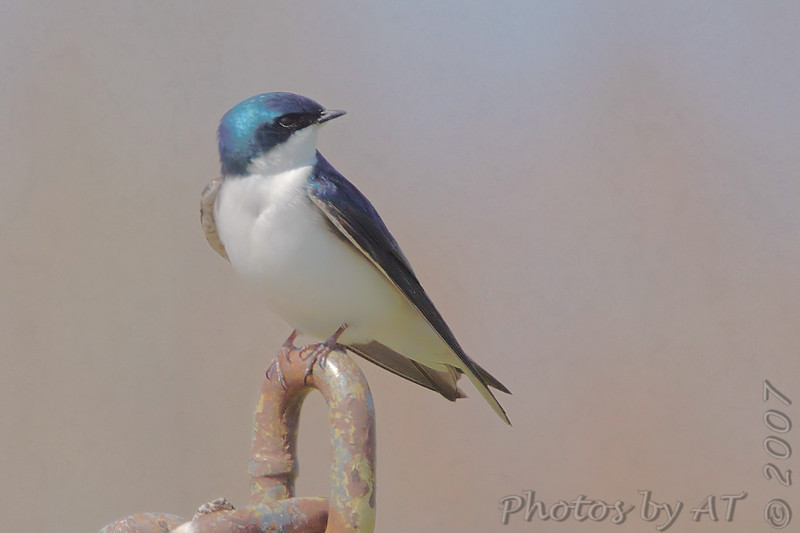"""Swallows: <span style=""""color:#fff; background:#333;"""">Tree Swallow </span> <br> Eagle Bluffs Conservation Area <br> Boone County, Missouri <br>  <a href=""""/Birds/2007-Birding/Birding-2007-April/2007-04-19-Eagle-Bluffs-and/i-xJgPgWX"""">2007-04-19</a> <br><br> My 1st Missouri photo, species #57 <br><div class=""""noshow"""">  See #57 in photo gallery  <a href=""""/Birds/2006-Birding/Birding-2006-March/2006-03-11-Busch-Wildlife/i-JSLSfmD""""> here</a> </div>"""