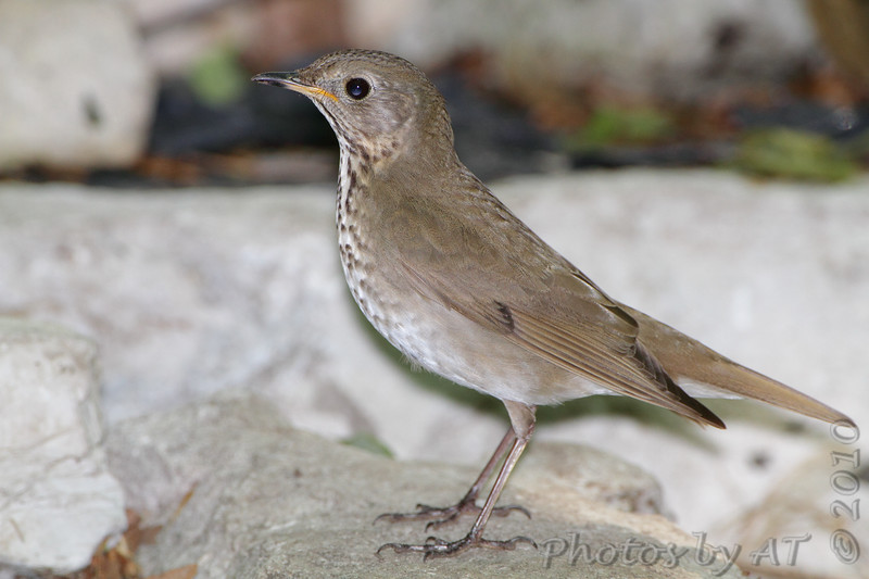 """Thrushes: <span style=""""color:#fff; background:#333;"""">Gray-cheeked Thrush </span> <br> Tower Grove Park <br> <a href=""""/Birds/2010-Birding/Birding-2010-May/2010-05-11-Tower-Grove-Park/i-wwdqPWs"""">2010-05-11</a> <br><br> My 1st Missouri photo, species #110 <br> 2006-05-22 14:47:26 <br><div class=""""noshow"""">  See #110 in photo gallery  <a href=""""/Birds/2006-Birding/Birding-2006-May/2006-05-22-JS-McDonnell-Park/i-ZSWt7xG""""> here</a> </div>"""
