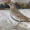 "Thrushes: <span style=""color:#fff; background:#333;"">Gray-cheeked Thrush </span> <br> Tower Grove Park <br>	 <a href=""/Birds/2010-Birding/Birding-2010-May/2010-05-11-Tower-Grove-Park/i-wwdqPWs"">2010-05-11</a> <br><br> My 1st Missouri photo, species #110 <br> 2006-05-22 14:47:26 <br><div class=""noshow"">  See #110 in photo gallery  <a href=""/Birds/2006-Birding/Birding-2006-May/2006-05-22-JS-McDonnell-Park/i-ZSWt7xG""> here</a> </div>"