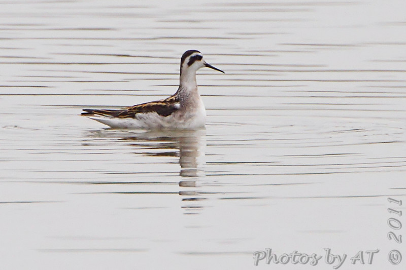 "Mudflats: Phalarope: <span style=""color:#fff; background:#333;"">Red-necked Phalarope</span>  <br> Pipeline pool <br> Confluence Point State Park <br> <a href=""/Birds/2011-Birding/Birding-2011-September/2011-09-10-Confluence-Point-SP/i-fjmrwGD"">2011-09-10</a> <br><br> My 1st Missouri photo, species #200 <br> 2008-08-10 13:12:29 <br><div class=""noshow"">  See #200 in photo gallery  <a href=""/Birds/2008-Birding/Birding-2008-August/2008-08-10-Hwy-79-Corridor/i-FmDcN8x""> here</a> </div>"