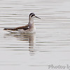 """Mudflats: Phalarope: <span style=""""color:#fff; background:#333;"""">Red-necked Phalarope</span>  <br><span class=""""showLBtitle"""">                                             </span> Pipeline pool <br> Confluence Point State Park <br> St. Charles County, Missouri <br> <a href=""""/Birds/2011-Birding/Birding-2011-September/2011-09-10-Confluence-Point-SP/i-fjmrwGD"""">2011-09-10</a> <br> <br> My 1st Missouri photo, species #200 <br> 2008-08-10 13:12:29 <br> <div class=""""noshow"""">See #200 in photo gallery <a href=""""/Birds/2008-Birding/Birding-2008-August/2008-08-10-Hwy-79-Corridor/i-FmDcN8x"""">here</a></div>"""
