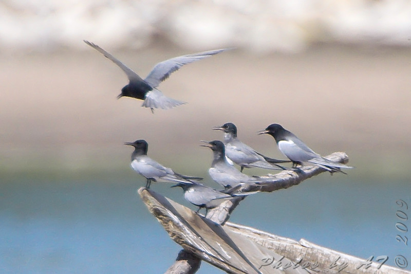 "Terns: <span style=""color:#fff; background:#333;"">Black Terns </span> <br><span class=""showLBtitle"">                                                                                         </span> Ellis Bay <br> Riverlands Migratory Bird Sanctuary <br> St. Charles County, Missouri <br> <a href=""/Birds/2009-Birding/Birding-2009-June/2009-06-17-RMBS/i-CzVN9k6"">2009-06-17</a>  <br> <br> My 1st Missouri photo, species #206 <br> 2008-08-17 15:41:04 <br> <div class=""noshow""> See #206 in photo gallery <a href=""/Birds/2008-Birding/Birding-2008-August/2008-08-17-Leach-Cannon-NWR/i-Vz6xvMh"">here</a></div>"