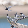 "Terns: <span style=""color:#fff; background:#333;"">Black Terns </span> <br> Ellis Bay <br> Riverlands Migratory Bird Sanctuary <br>	 <a href=""/Birds/2009-Birding/Birding-2009-June/2009-06-17-RMBS/i-CzVN9k6"">2009-06-17</a>  <br><br> My 1st Missouri photo, species #206 <br> 2008-08-17 15:41:04 <br> <div class=""noshow"">  See #206 in photo gallery  <a href=""/Birds/2008-Birding/Birding-2008-August/2008-08-17-Leach-Cannon-NWR/i-Vz6xvMh"">here</a> </div>"