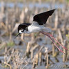 "Marsh Birds: <span style=""color:#fff; background:#333;"">Black-necked Stilt</span>  <br> Columbia Bottom Conservation Area <br> <a href=""/Birds/2008-Birding/Birding-2008-June/2008-06-16-Columbia-Bottom-CA/i-pxmtHWd"">2008-06-16</a> <br><br>  My 1st Missouri photo, species #193  <br> 2008-06-10 15:02:08 <br><div class=""noshow""> See #193 in photo gallery  <a href=""/Birds/2008-Birding/Birding-2008-June/2008-06-07-09-10-Multi-areas/i-483rvmH""> here</a> </div>"