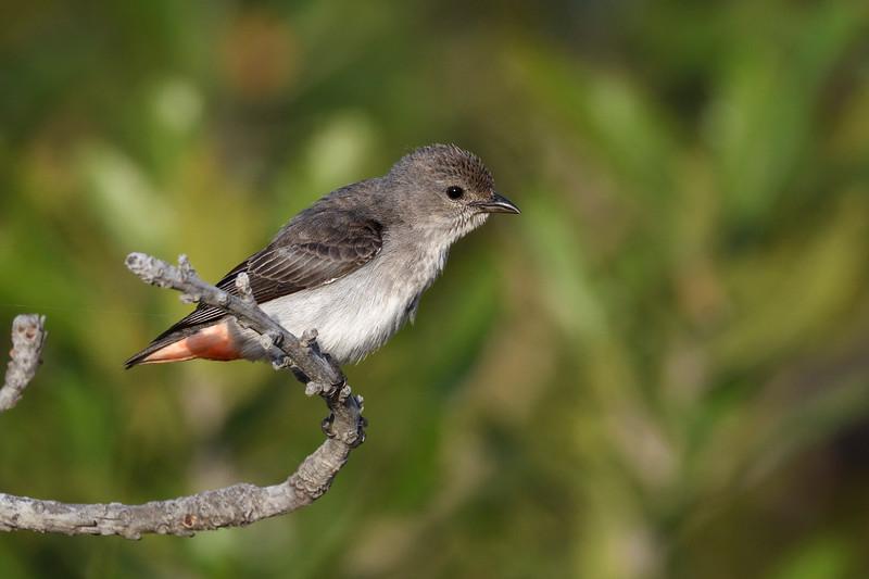 Mistletoebird female (Dicaeum hirundinaceum)