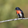 Mistletoebird (Dicaeum hirundinaceum)