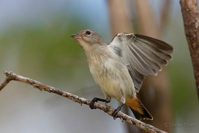 Mistletoebird - Female