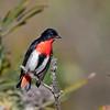 Male Mistletoebird (Dicaeum hirundinaceum)