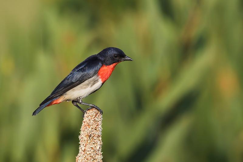 Mistletoebird male (Dicaeum hirundinaceum)
