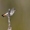 Mistletoebird juvenile (Dicaeum hirundinaceum)