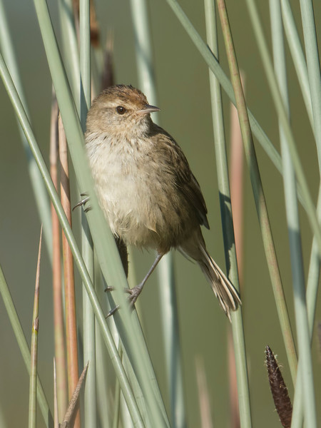 Little Grassbird ( Megalurus gramineus), Emerald Lakes, Carrara, Queensland.