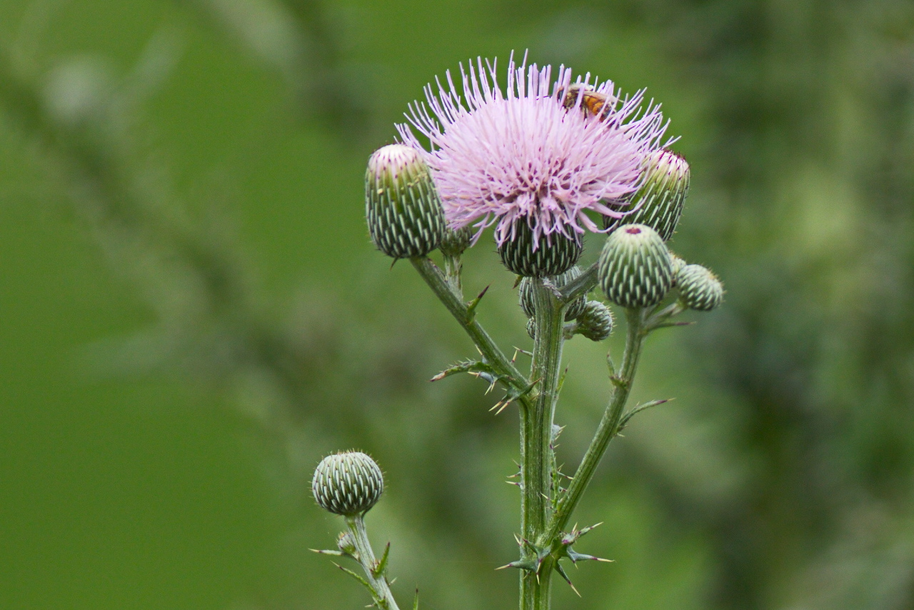 Some Thistle with Bee