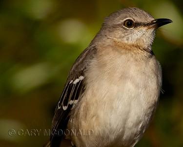 Mocking Bird