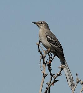 Mockingbird at Joshua Tree National Park