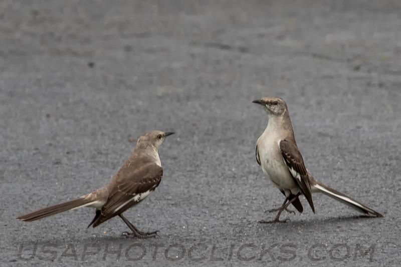 Northern Mockingbird (b1375)