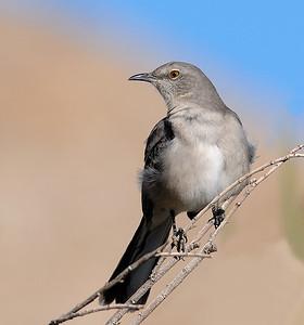 Mockingbird at Coachella Wildlife Preserve