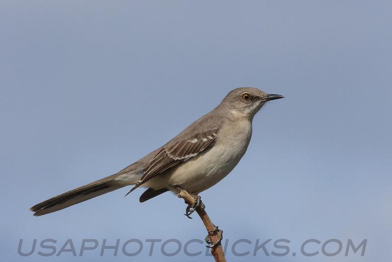 Northern Mockingbird (b1374)