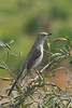 Northern Mockingbird (b1373)