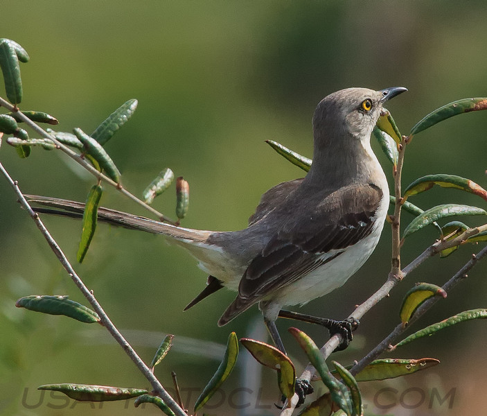 Northern Mockingbird (b1371)