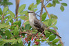 Northern Mockingbird (b1372)