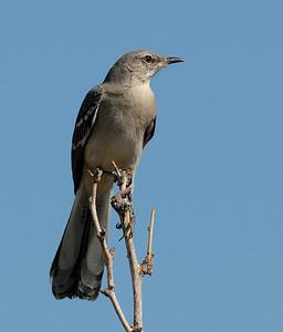 Mockingbird at Joshua National Park