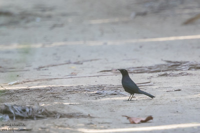Black Catbird - Record - Caye Caulker, Belize