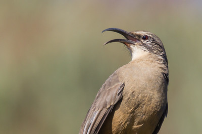 California Thrasher - Santa Cruz, CA, USA