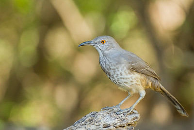 Curve-billed Thrasher - Martin Refuge, Mission, TX, USA