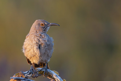 Curve-billed Thrasher - Tucson, AZ, USA
