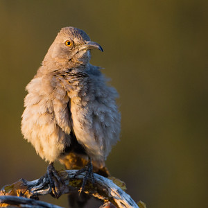 Curve-billed Thrasher - Saguaro National Park East - AZ, USA