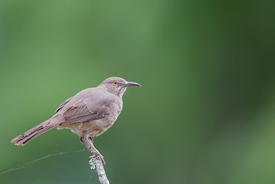 Curve-billed Thrasher - Sierra Vista, AZ, USA