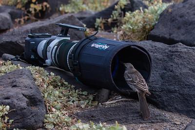 Hood Mockingbird - Galapagos, Ecuador