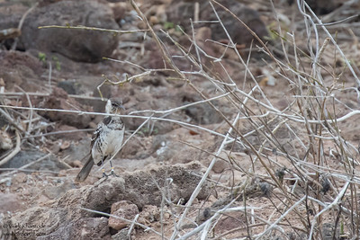 Floreana Mockingbird - Galapagos, Ecuador