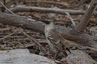 Galapagos Mockingbird - Galapagos, Ecuador