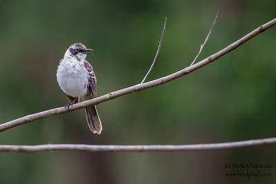 Galapagos Mockingbird - Isla Santa Cruz, Galapagos, Ecuador