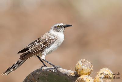 Galapagos Mockingbird - Darwin Bay, Isla Genovesa, Galapagos, Ecuador