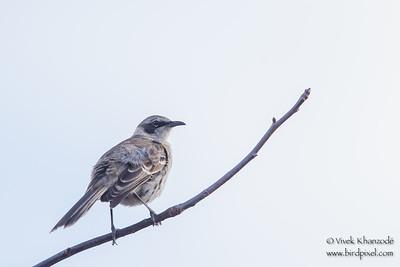 Galapagos Mockingbird - Urvina Bay, Isla Isabela, Galapagos, Ecuador