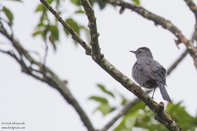 Gray Catbird - Record - Crooked Tree, Belize