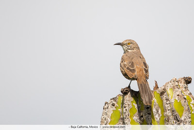 Gray Thrasher - Baja California, Mexico