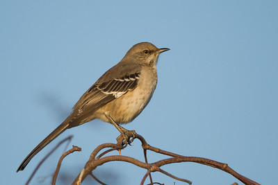 Northern Mockingbird - Lodi, CA, USA