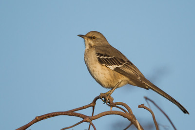 Northern Mockingbird - Lodi, CA, USA